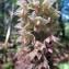 Hugues TINGUY - Epipactis purpurata