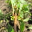 Hugues Tinguy - Ludwigia palustris (L.) Elliott [1817]