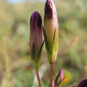 Gentianella axillaris (Rchb.) Á.Löve & D.Löve (Gentiane amère)