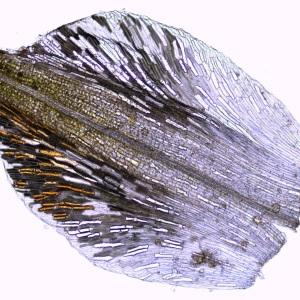 Photographie n°209538 du taxon Scirpus atrovirens Willd. [1809]