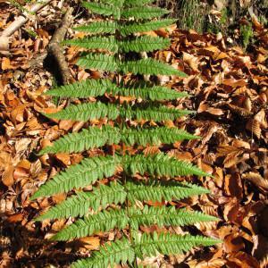 Dryopteris remota (A.Braun ex Döll) Druce (Dryoptéris espacé)