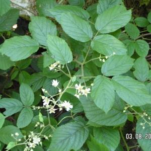 - Rubus fruticosus L. [1753]