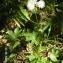 Alain Bigou - Astrantia major subsp. involucrata (W.D.J.Koch) Ces. [1844]