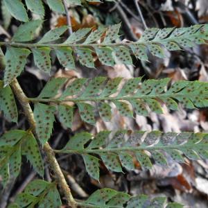Polystichum aculeatum (L.) Roth (Polystic à aiguillons)