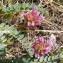Jean-Claude Calais - Astragalus monspessulanus L.