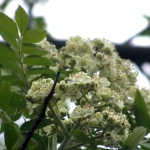 Sorbus domestica L. (Cormier)