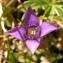 Alain Bigou - Gentianella campestris f. hypericifolia (Murb.) B.Bock [2012]