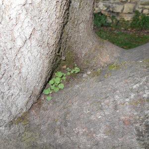 Photographie n°209755 du taxon Cymbalaire des murailles