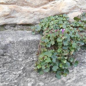 Photographie n°209756 du taxon Cymbalaire des murailles