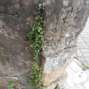 Photographie n°209757 du taxon Cymbalaire des murailles