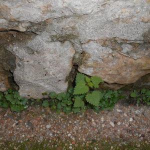 Photographie n°209779 du taxon Cymbalaire des murailles