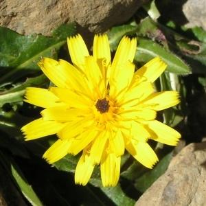 Scorzoneroides pyrenaica (Gouan) Holub var. pyrenaica (Liondent des Pyrénées)