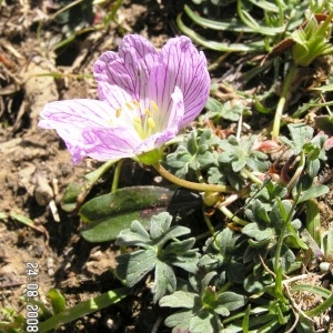 Photographie n°209813 du taxon Geranium cinereum Cav. [1787]