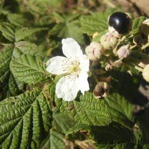 - Rubus x uncinellus P.J.Müll. & Lefèvre [1859]