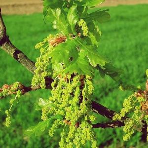 Photographie n°209871 du taxon Quercus robur L. [1753]