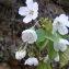 Jean-Claude Calais - Prunus avium (L.) L. [1755]