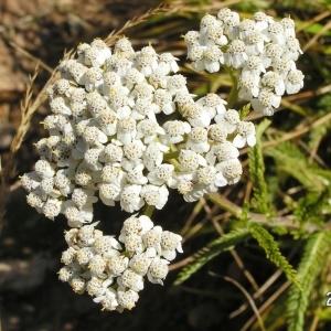 Photographie n°209955 du taxon Achillea millefolium subsp. millefolium