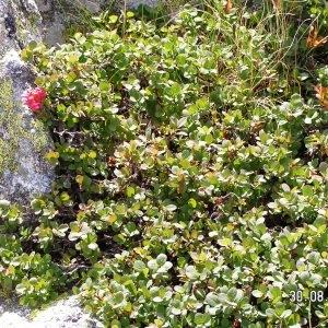 Vaccinium uliginosum L. subsp. uliginosum (Airelle des marais)