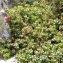 Alain Bigou - Vaccinium uliginosum subsp. uliginosum