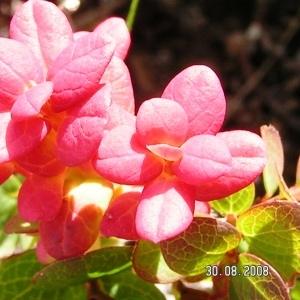 - Vaccinium uliginosum subsp. uliginosum