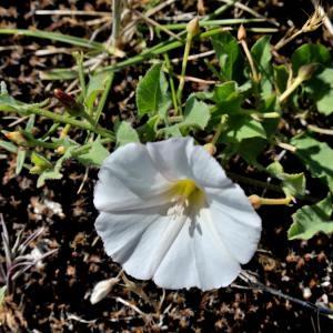 - Convolvulus sepium L.
