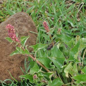 - Chenopodium bonus-henricus L. [1753]
