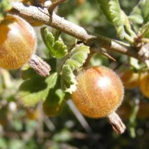 - Ribes uva-crispa L. [1753]