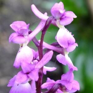 Orchis mascula (L.) L. (Orchis mâle)