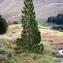 Alain Bigou - Pinus sylvestris L. [1753]