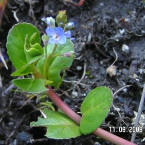 Veronica beccabunga L. subsp. beccabunga (Véronique des ruisseaux)