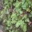 Genevieve Botti - Polypodium cambricum L.