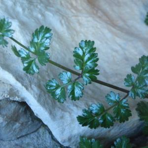 Ptychotis saxifraga (L.) Loret & Barrandon (Ptychotis à feuilles de saxifrage)
