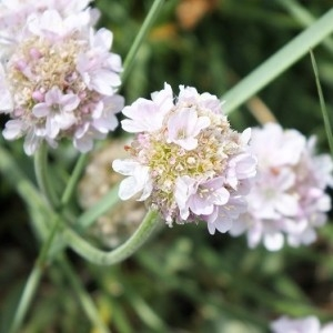 Armeria maritima Willd. subsp. maritima (Arméria maritime)