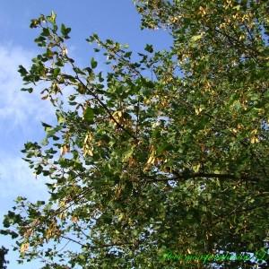 Photographie n°210523 du taxon Acer monspessulanum L. [1753]