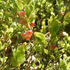 Photographie n°210538 du taxon Vaccinium myrtillus L.