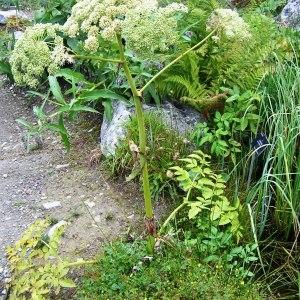 - Angelica sylvestris subsp. sylvestris
