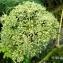 Alain Bigou - Angelica sylvestris subsp. sylvestris
