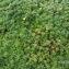 Alain Bigou - Androsace vitaliana subsp. vitaliana