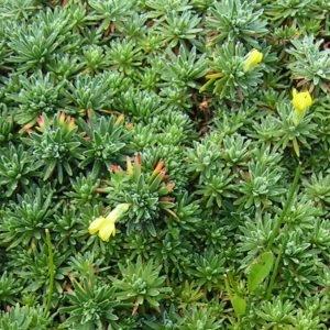 - Androsace vitaliana subsp. vitaliana