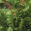Jean-Claude Echardour - Chamaecyparis obtusa (Siebold & Zucc.) Endl.