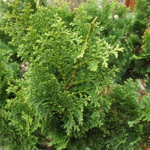 - Chamaecyparis obtusa (Siebold & Zucc.) Endl.