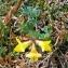 Alain Bigou - Lotus corniculatus subsp. alpinus (DC.) Rothm.
