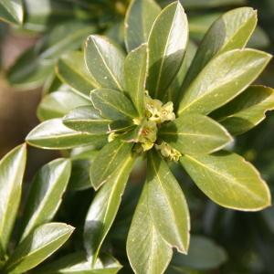 Photographie n°210690 du taxon Daphne laureola L. [1753]