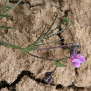 - Lathyrus linifolius f. linifolius