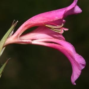 Gladiolus dubius Guss. (Glaïeul douteux)