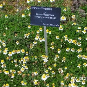 - Chamaemelum nobile (L.) All.