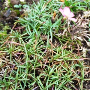 Photographie n°210737 du taxon Dianthus pavonius Tausch