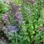Alain Bigou - Origanum vulgare subsp. vulgare