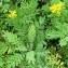 Alain Bigou - Hugueninia tanacetifolia subsp. tanacetifolia