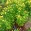 Alain Bigou - Hypericum perforatum L.